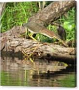 Green Heron Fishing 2 Canvas Print