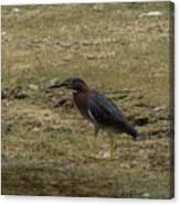 Green Heron In Central Texas Canvas Print