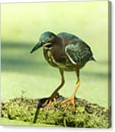 Green Heron In Green Algae Canvas Print