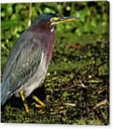 Green Heron In Swampy Water Canvas Print