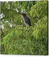 Green Heron In Tree Canvas Print
