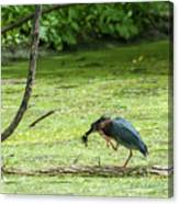 Green Heron Lunch Canvas Print