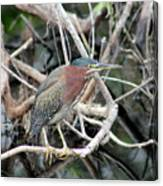 Green Heron On A Branch Canvas Print