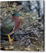 Green Heron Patience Canvas Print