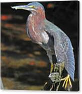 Green Heron Sretching Wing Canvas Print