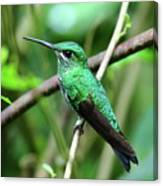 Green Crowned Brilliant Hummingbird Canvas Print