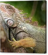 Green Iguana Costa Rica Canvas Print