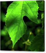 Green Is The Mulberry Leaf Canvas Print