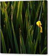 Green Marsh Grass At Sunrise On Lake Cassidy  Canvas Print