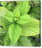 Green Mint Leaves Canvas Print
