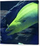 Green Moray Eel Canvas Print