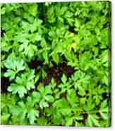 Green Parsley 2 Canvas Print
