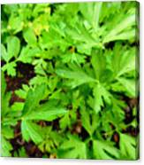 Green Parsley  4 Canvas Print