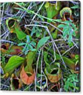 Northern Pitcher Plant Canvas Print
