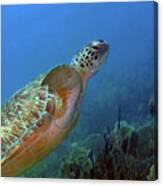 Green Sea Turtle 4 Canvas Print