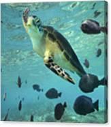 Green Sea Turtle Balicasag Island Canvas Print