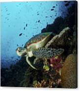 Green Sea Turtle Resting On A Plate Canvas Print