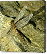 Green Spotted Dragonfly 1 Canvas Print