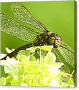 Green Spotted Dragonfly 2 Canvas Print