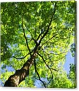 Summer Tree Canopy Canvas Print