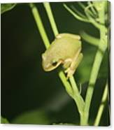 Green Tree Frog On Hibiscus Canvas Print