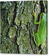 Green Tree Frog On Lichen Covered Bark Canvas Print