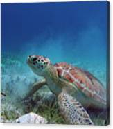 Green Turtle Canvas Print