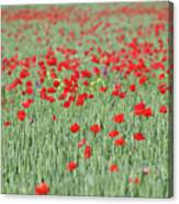 Green Wheat And Red Poppy Flowers Field Canvas Print