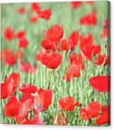Green Wheat And Red Poppy Flowers Canvas Print