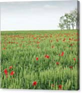 Green Wheat Field Spring Scene Canvas Print