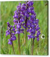 Green-winged Orchids Canvas Print