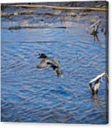 Green-winged Teal 4 Canvas Print