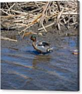Green-winged Teal 7 Canvas Print