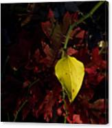 Greenbriar Leaf In Evening Sun Canvas Print