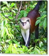 Grenada Monkey Canvas Print