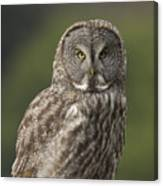 Great Gray Owl Portrait Canvas Print