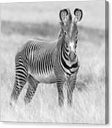 Grevy Zebra  5953bw Canvas Print
