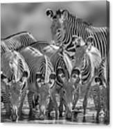 Grevy Zebra Party  7528bw Canvas Print