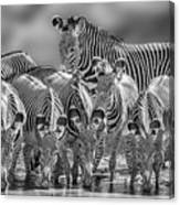 Grevy Zebra Party  7528bwc Canvas Print
