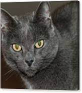 Grey Cat With Yellow Eyes Canvas Print