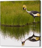 Grey Crowned Crane - Signed Canvas Print