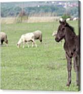 Grey Foal On Pasture Farm Scene Canvas Print