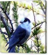 Grey Jay In A Juniper Tree Canvas Print