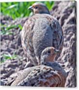 Grey Partridge Canvas Print