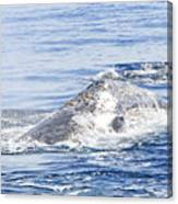 Grey Whale 2 Canvas Print