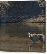 Grey Wolf In The Yellowstone River-signed-#4363 Canvas Print