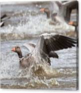 Greylag Goose Landing Canvas Print
