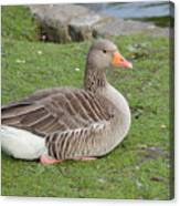Greylag Goose Resting Canvas Print