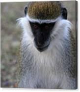 Grivet Monkey Canvas Print