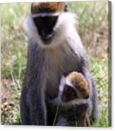 Grivet Monkey At Lake Awassa Canvas Print